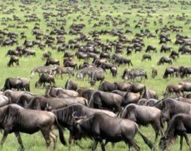 wildebeest migration serengeti national park photo moizhusein