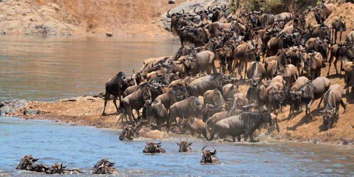 Migratory blue wildebeest crossing the Mara river, Masai Mara National Reserve, Kenya