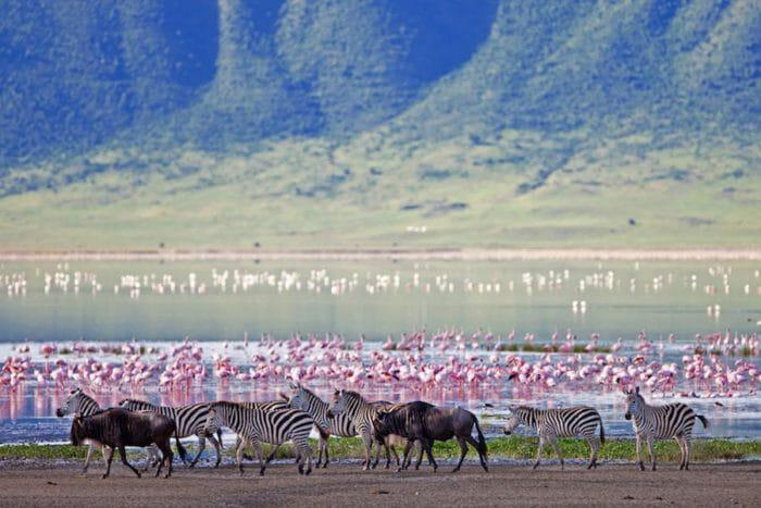 Ngorongoro Crater zebras flamingos