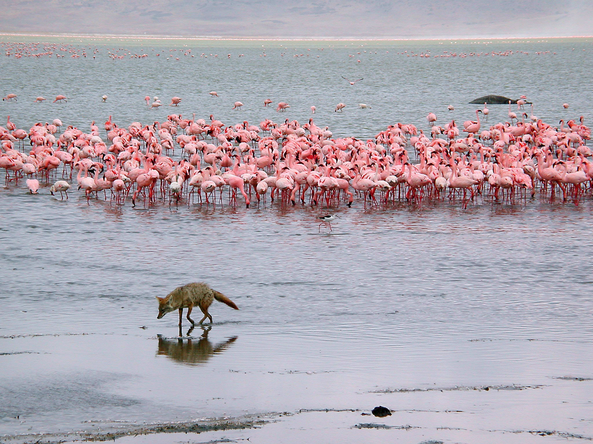 Flamingos watch a golden jackel pass by while a hippo wallows behind them - Ngorongoro Crater, Tanzania