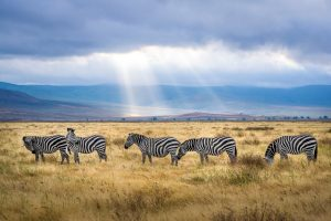 A herd of zebra grazing at sunset in the Ngorongoro Crater in Tanzania