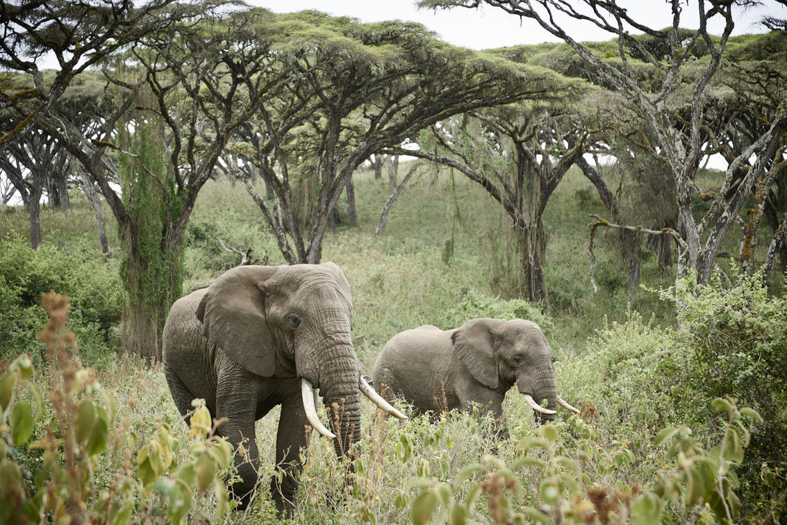Africa's largest tusker elephants in the dense forests of the Ngorongoro Crater