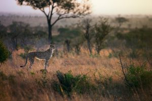 Cheetah at dusk in the Ngorongoro Crater in Tanzania on safari