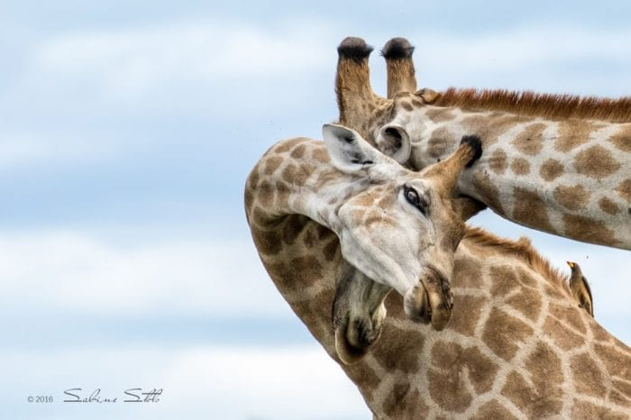 Giraffes Photo Credit Sabine Stols