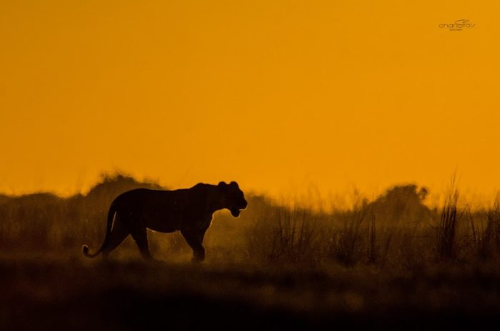 Lion Charl Stols