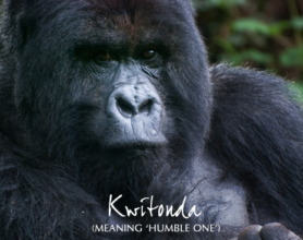 Photo of Kwitonda, a silverback gorilla from Rwanda