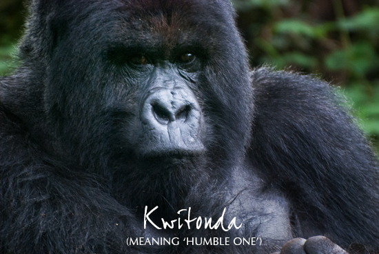 Photo of Kwitonda, a silverback gorilla from Rwanda