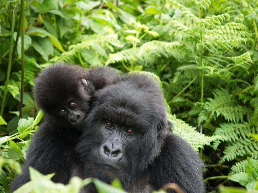 Mother and baby mountain gorillas in Rwanda