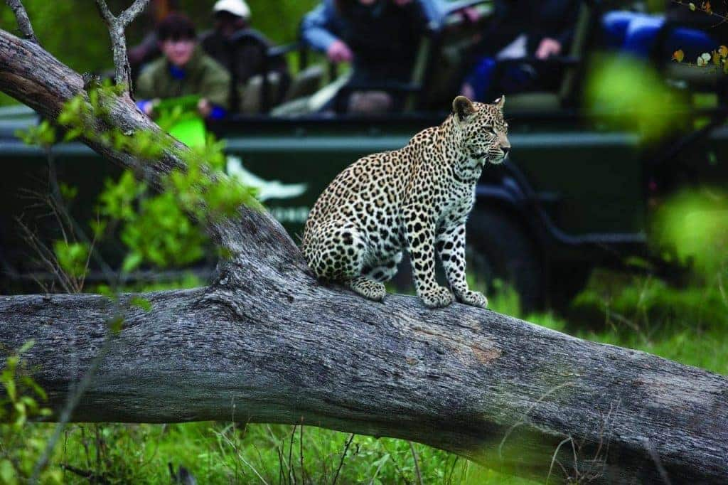 Sabi Sand Game Reserve is renowned for its exceptional leopard sightings where males can be seen marking and patrolling their territory and females interacting with their cubs.
