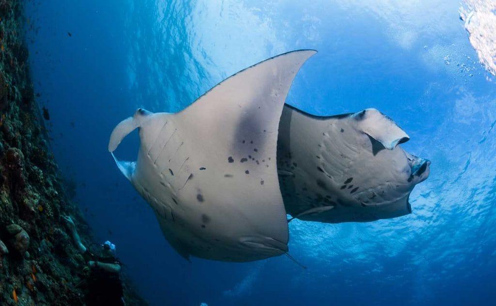 Manta ray gliding through the cobalt depths of the Bazaruto Archipelago