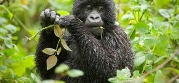 Gorilla Trekking & Tanzania Safari