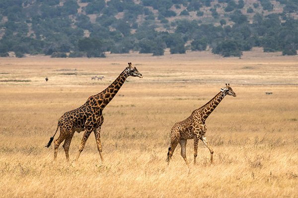 Masai giraffe at Magashi Camp in Rwanda's Akagera National Park