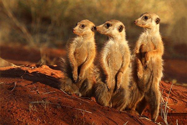 Meandering with Meekats in the Makgadikgadi