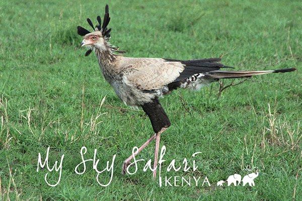 Camille captured this incredible raptor (the tallest and longest of all living raptors) on her Elewana Sky Safari in Kenya