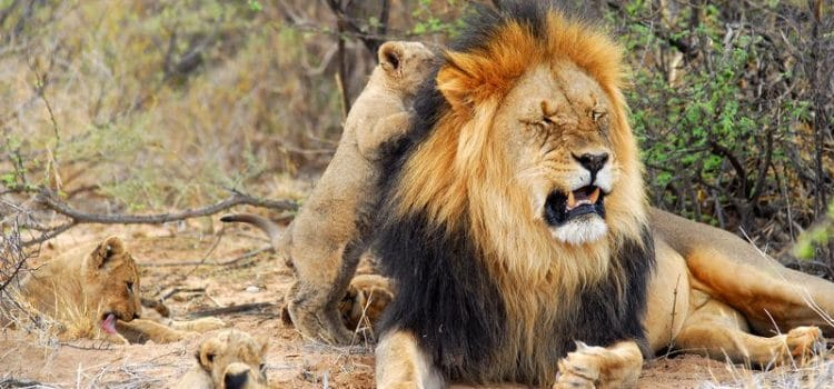 What Happens to Our Male Lions?