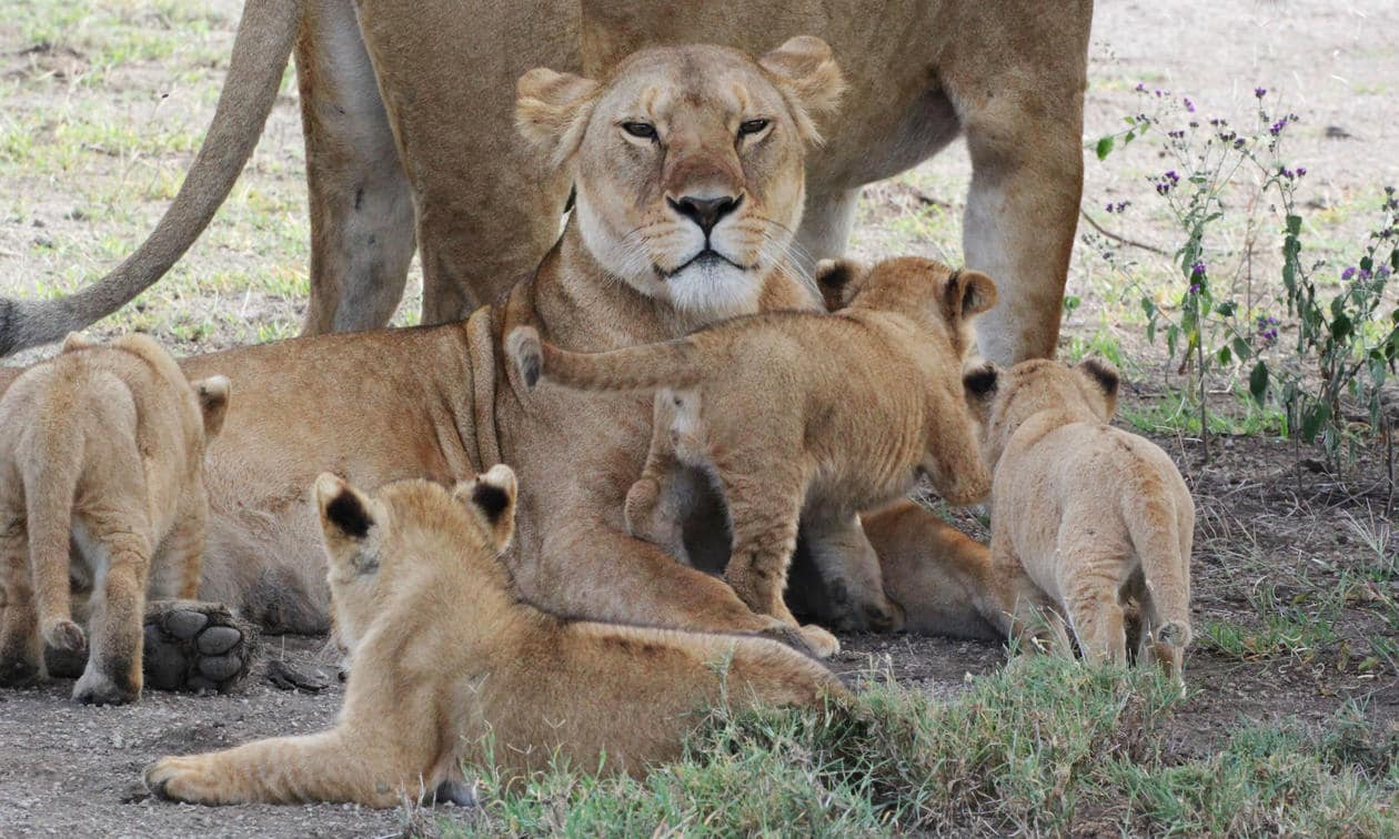 A pride of lions in the Ngorongoro Crater in Tanzania with Southern Destinations
