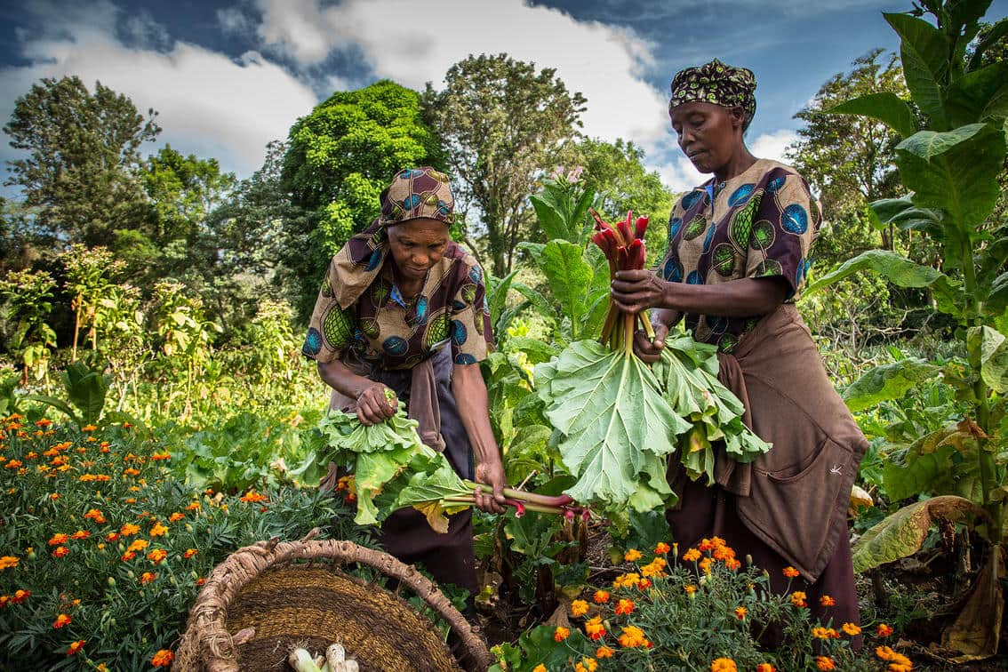 Masai women working in the vegetable garden - Gibb's Farm
