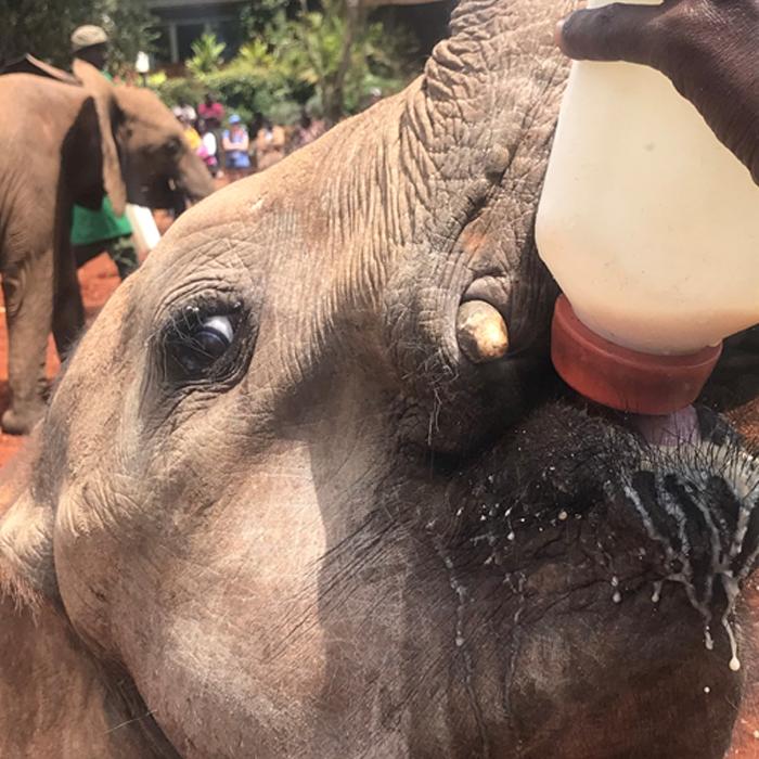 Feeding a baby elephant at the David Sheldrick Elephant Center