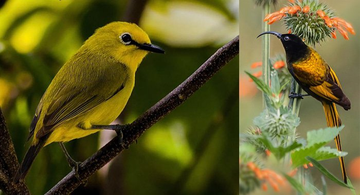 Mountain white-eye bird and golden-winged sunbird in Tanzania, Ngorongoro Crater