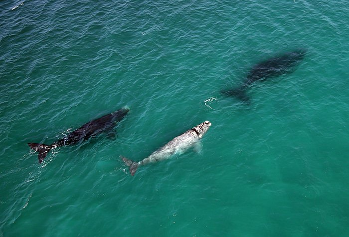 Aerial photo of Southern Right whales off the coast of Lekkerwater Beach Lodge at De Hoop
