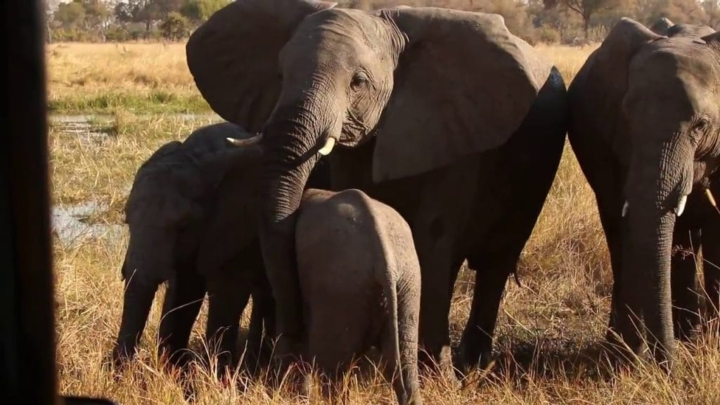 Client footage: A breeding herd of elephants at Sable Alley in Botswana