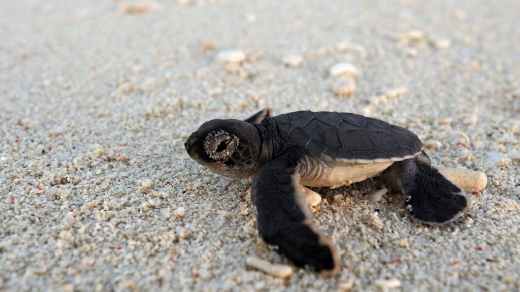 A vulnerable turtle hatchling given the best chances of survival by the conservation team at Mnemba Island in Zanzibar
