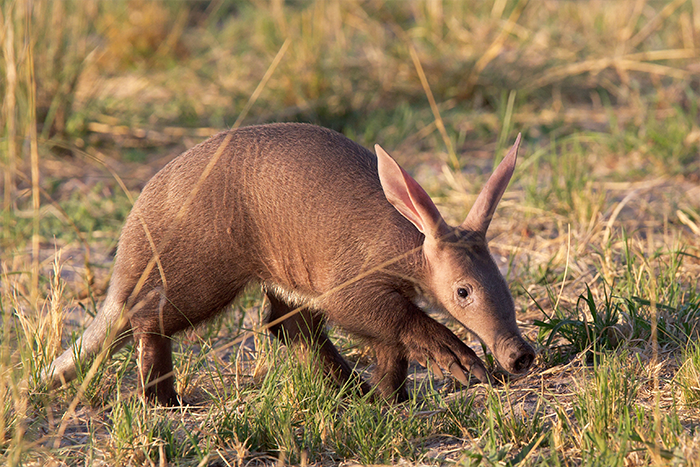 An aardvark near Kwando Lagoon Camp in Botswana