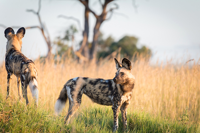 Wild dogs at Kwando Lagoon Camp in Botswana (Credit: K Jones)