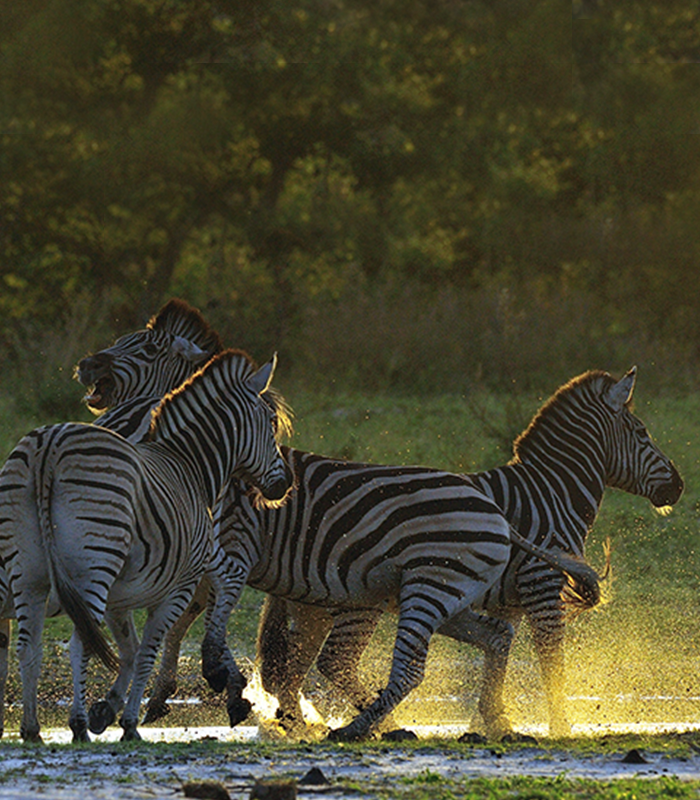 Zebras splashing in the lagoon at sunset - Kwando Lagoon Camp - Southern Destinations