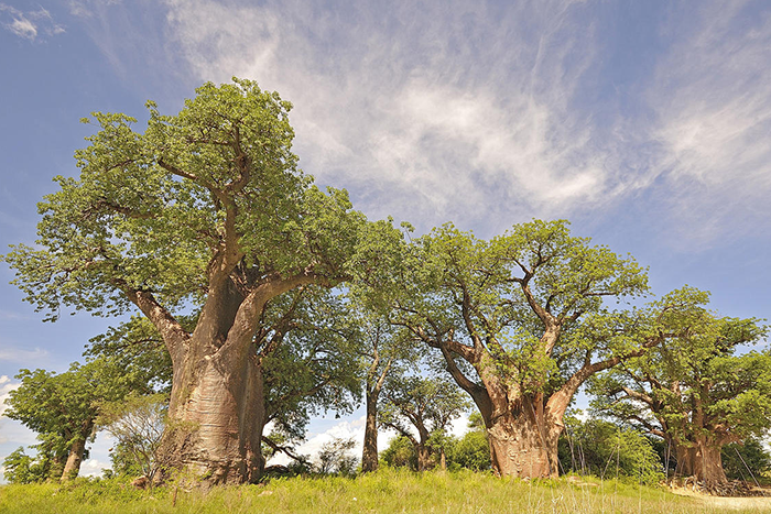 Picnic beneath the ancient Baines' Baobabs when staying at Nxai Pan