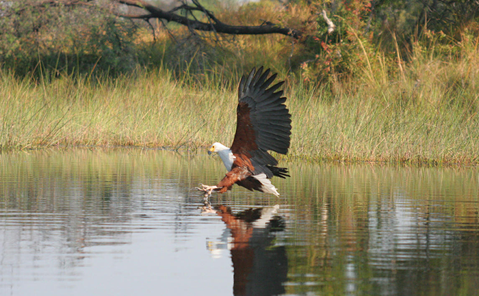 Fish eagle in full flight about to catch a fish - Kwando Splash Camp - Botswana - Southern Destinations