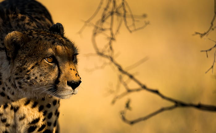 Cheetah photographed on a game drive - Kwando Splash Camp - Botswana - with Southern Destinations