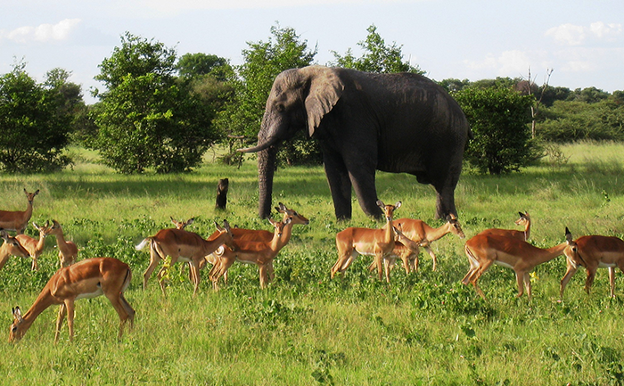 Elephant with a group of buck - on a game drive with Kwando Splash Camp in Botswana