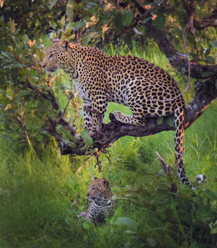 Leopards in the trees at Kwando Lagoon Camp - Southern Destinations