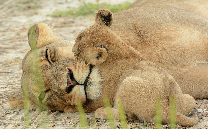 Lioness and her cub at Nxai Pan