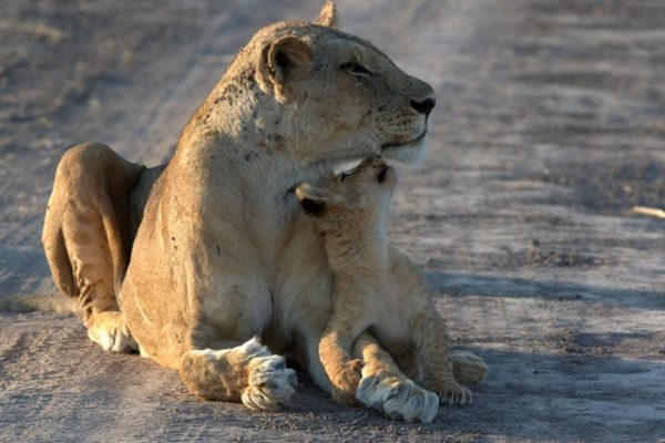 A Safari For Purists - lioness and cub - Mfuwe Lodge - Zambia - Southern Destinations