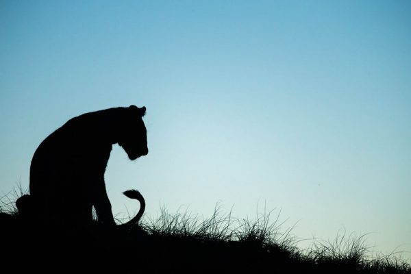 A Safari For Purists - sunset game drive - lioness silhouette - Ila Lodge - Southern Destinations