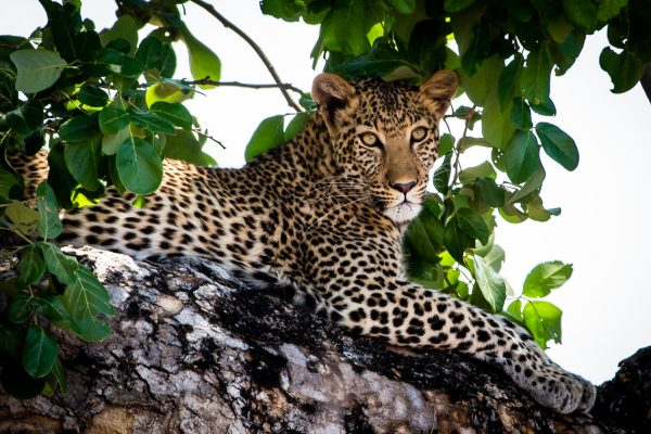 A Safari For Purists - leopard in tree - African Bush Camps Zambezi Expeditions - Zambia - Southern Destinations