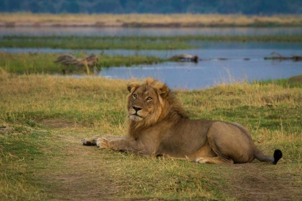 A Safari For Purists - game drive lion - African Bush Camps Zambezi Expeditions - Zambia - Southern Destinations