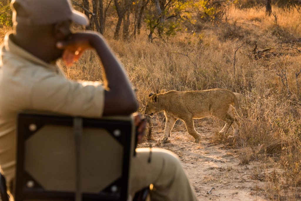 Lioness spotted on sunset game drive at Saseka Tented Lodge