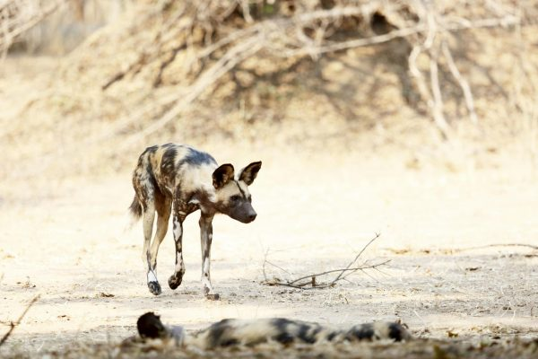 A Safari For Purists - wild dogs - African Bush Camps Zambezi Expeditions - Zambia - Southern Destinations