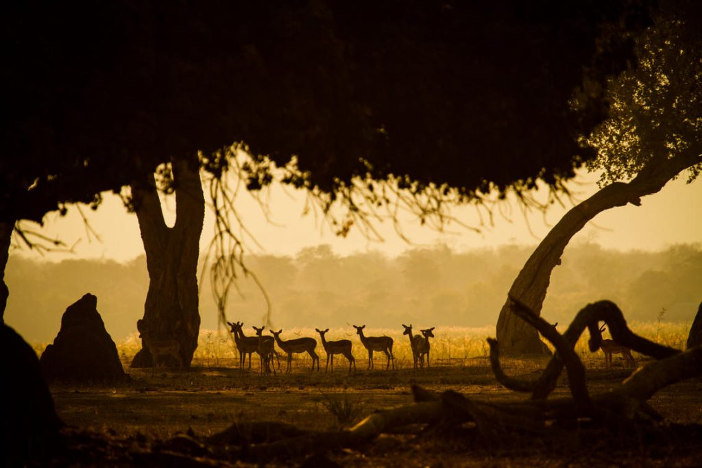 A Safari For Purists - golden hour antelope - African Bush Camps Zambezi Expeditions - Zambia - Southern Destinations